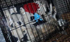 Will The Live Animal Trade Be Stopped By An Inquiry And Legislation?